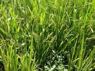 This is what rice looks like before it is harvested!